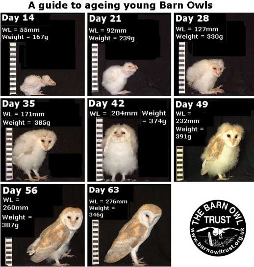 Barn Owl The White Masked Ghost Owl Animal Pictures And Facts