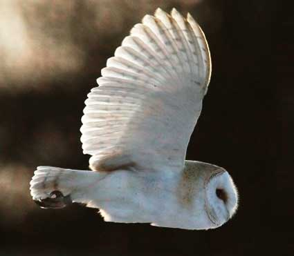 Image of: Night Owls They Are Completely Nocturnal Animals After Dark They Will Begin Hunting For Their Morning Meal morning For Them That Is Factzoocom Barn Owl The Whitemasked Ghost Owl Animal Pictures And Facts