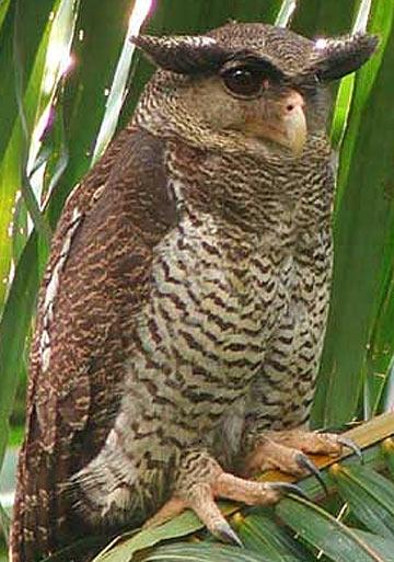 barred eagle owl perched