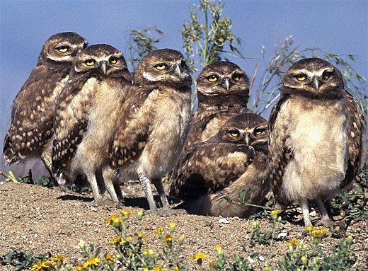 bunch of young burrowing owls