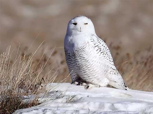 camo snowy owl