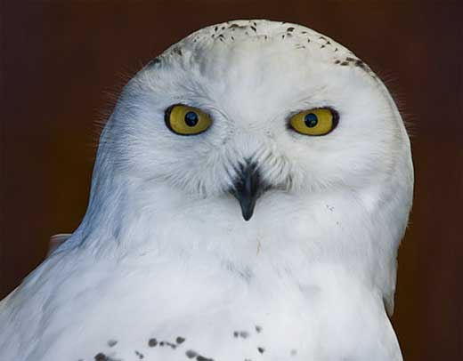 close up snowy owl