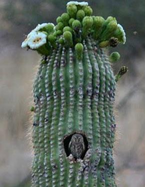 Elf Owl - Tiny Family-Oriented North American Bird | Animal ...