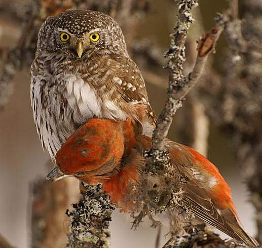 eurasian pygmy owl   tiny predator out in the cold animal pictures