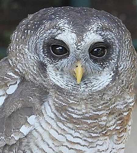 head earless strix africaowl