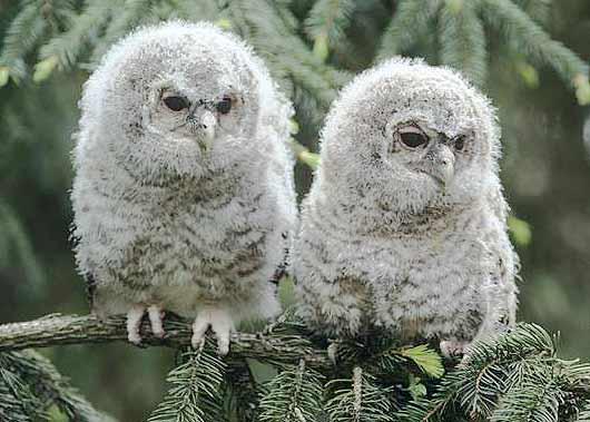 horned owlets