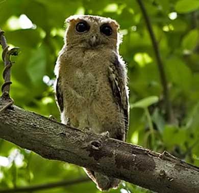 scops owl call