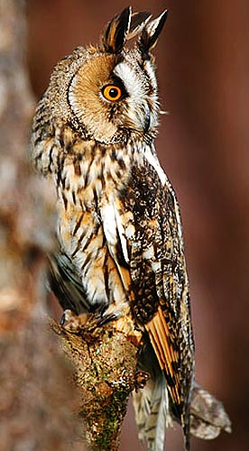 orange iris owl