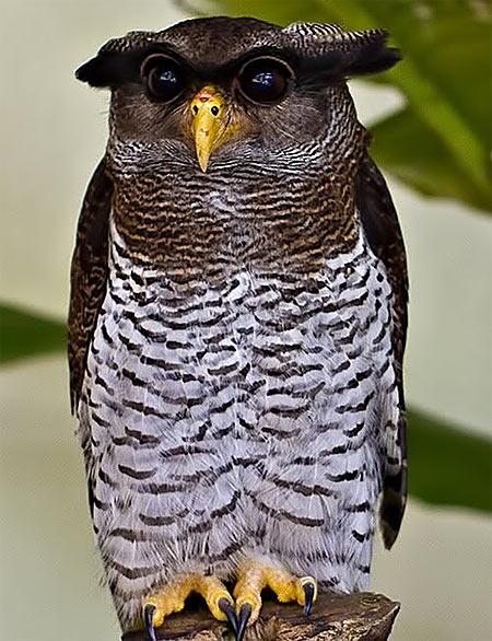 malay eagle owl