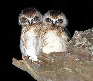 morepork nestlings