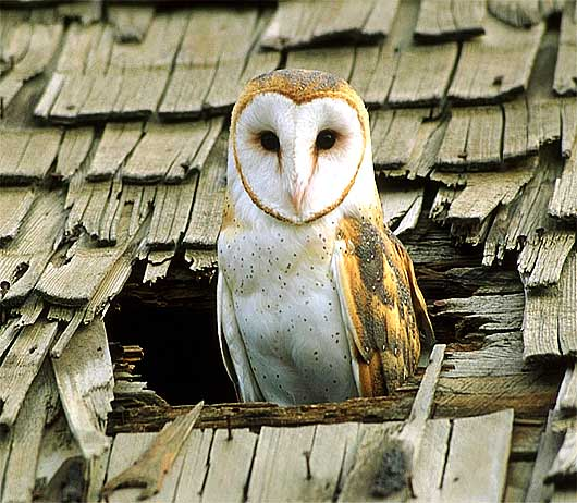 [Image: owl-in-the-roof.jpg]
