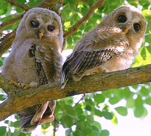 pair juvenile wooded owls