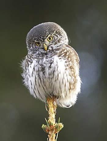 perched pygmy owl