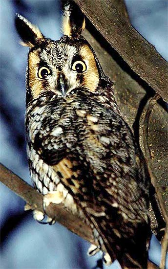 Long Eared Owl Camouflaged Nocturnal Forest Bird