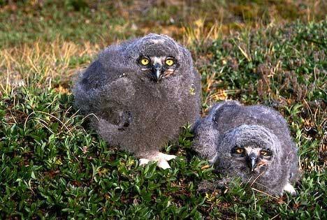 snowy owlets
