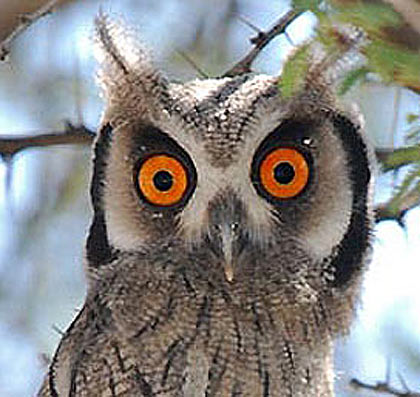 sothern white faced scops owl