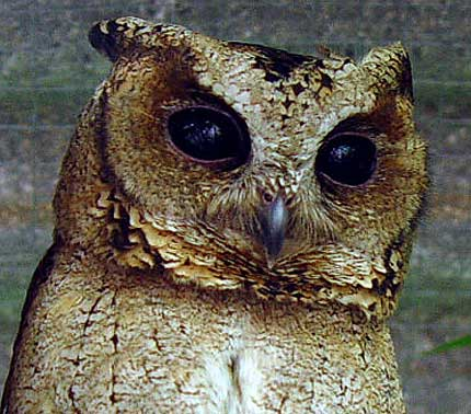 sunda scops up close
