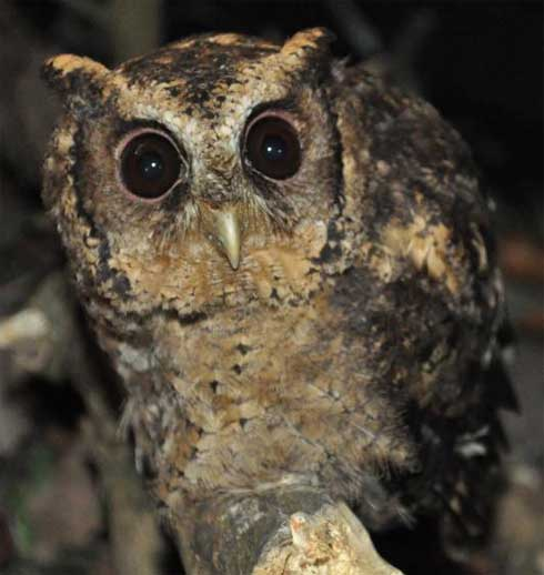 wide eyes sunda scops