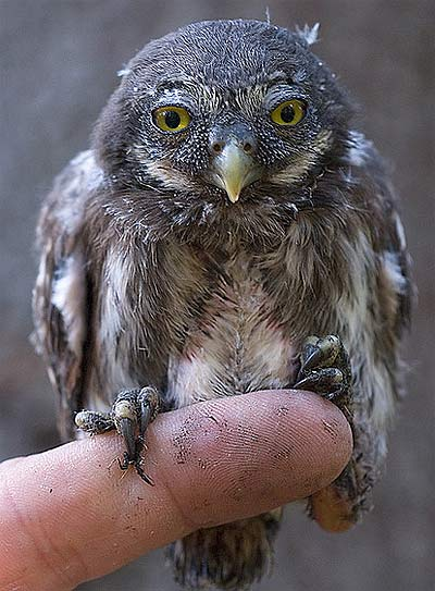 young euro pygmy owl