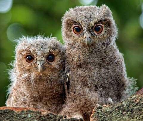 young sunda scops owls