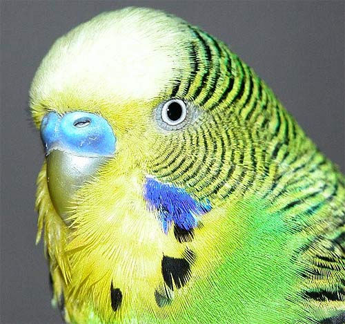 budgerigar parakeet popular cage parrot animal pictures and