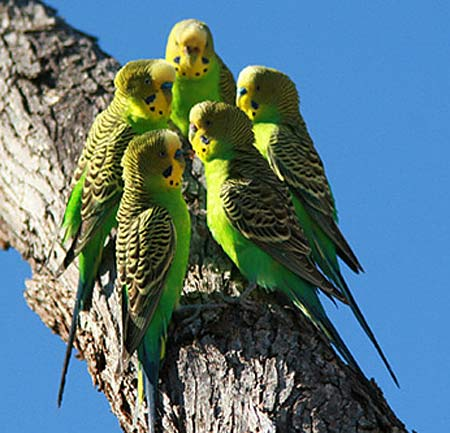 Budgerigar - Parakeet - Popular Cage Parrot | Animal