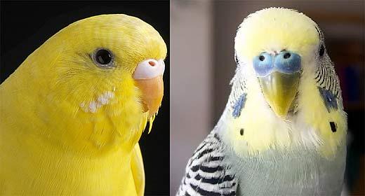 budgerigar yellow gray