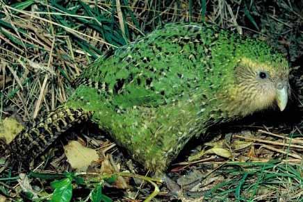 kakapo grass