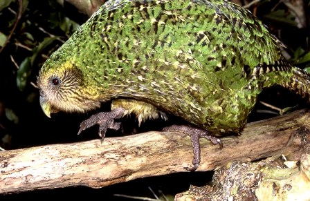 Kakapo - Big Green Night Owl Parrot | Animal Pictures and Facts ...