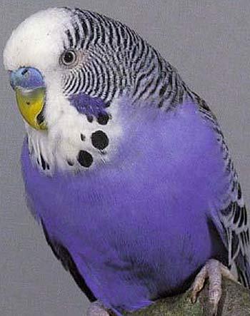 purple bugdie parakeet