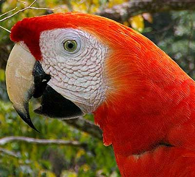 s macaw head shot