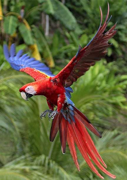 Scarlet Macaw Vibrant Plumage Tropical Noise Maker