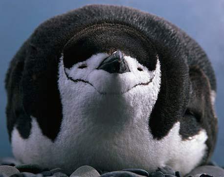 Penguins - Largest Group of Flightless Birds | Animal ...
