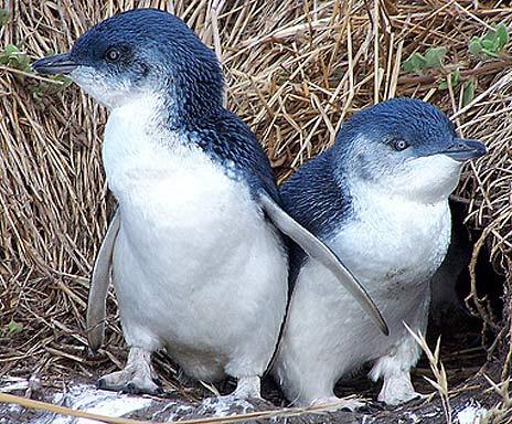 couple little blue penguins