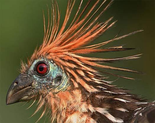 hoatzin bird head