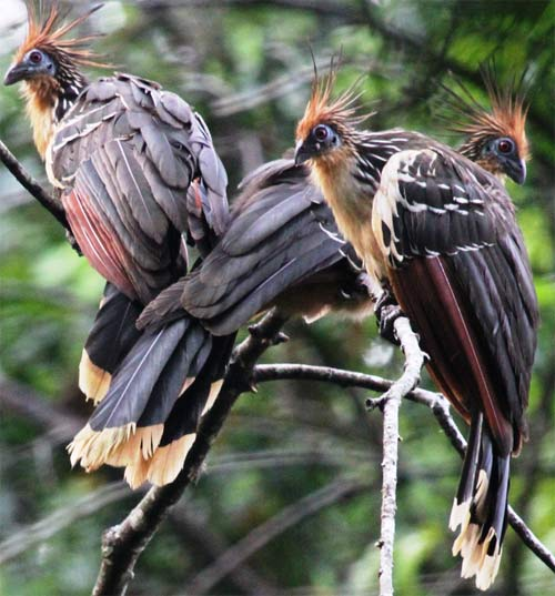 Hoatzin - Funky Stinkbird with Nice Crest | Animal Pictures and ...