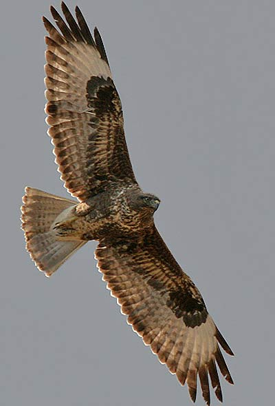 Common Buzzard Hunting For Easy Meat Animal Pictures