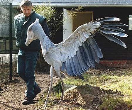 Shoebill - Giant Peculiar Bird of Africa | Animal Pictures ...