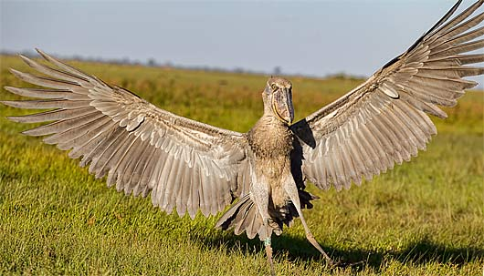 African Shoebill | www.pixshark.com - Images Galleries ...