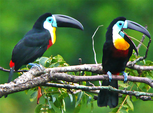 channel-billed-toucan.jpg
