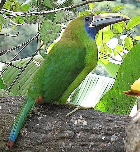 emerald toucanet looking up