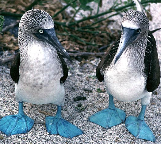 two-blue-footed-boobies.jpg