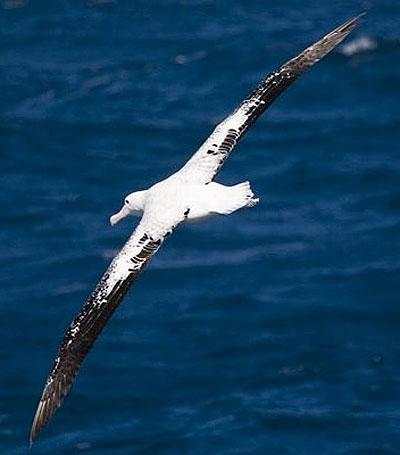 wandering albatross wings