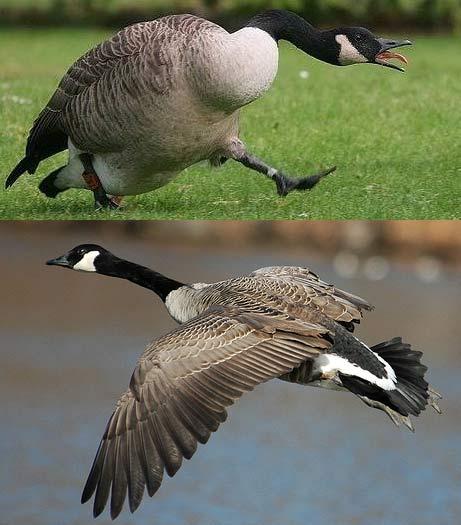 migrating canada