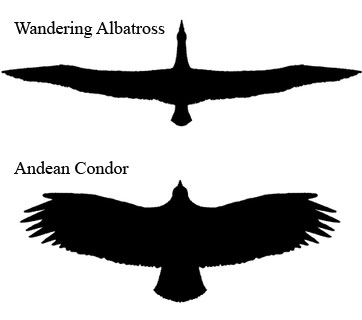 wingspan condor albatross