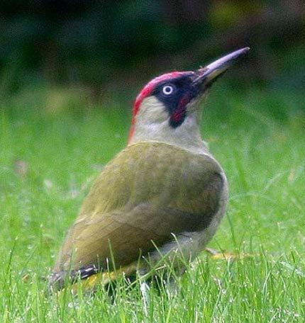 green woodpckr grass