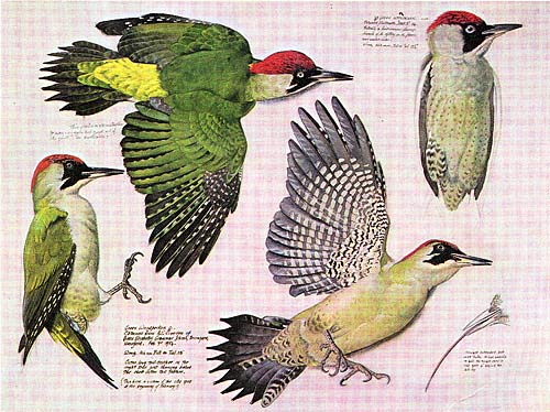green wpecker diagram