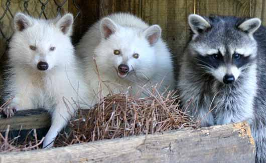 Albino Animals Animal Pictures And Facts Factzoo Com