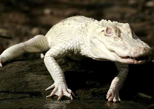 alligator02