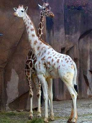 giraffe missing spots
